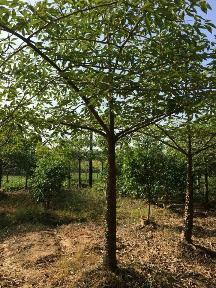 亚热带地区常见优质绿化树种木棉 特价供应