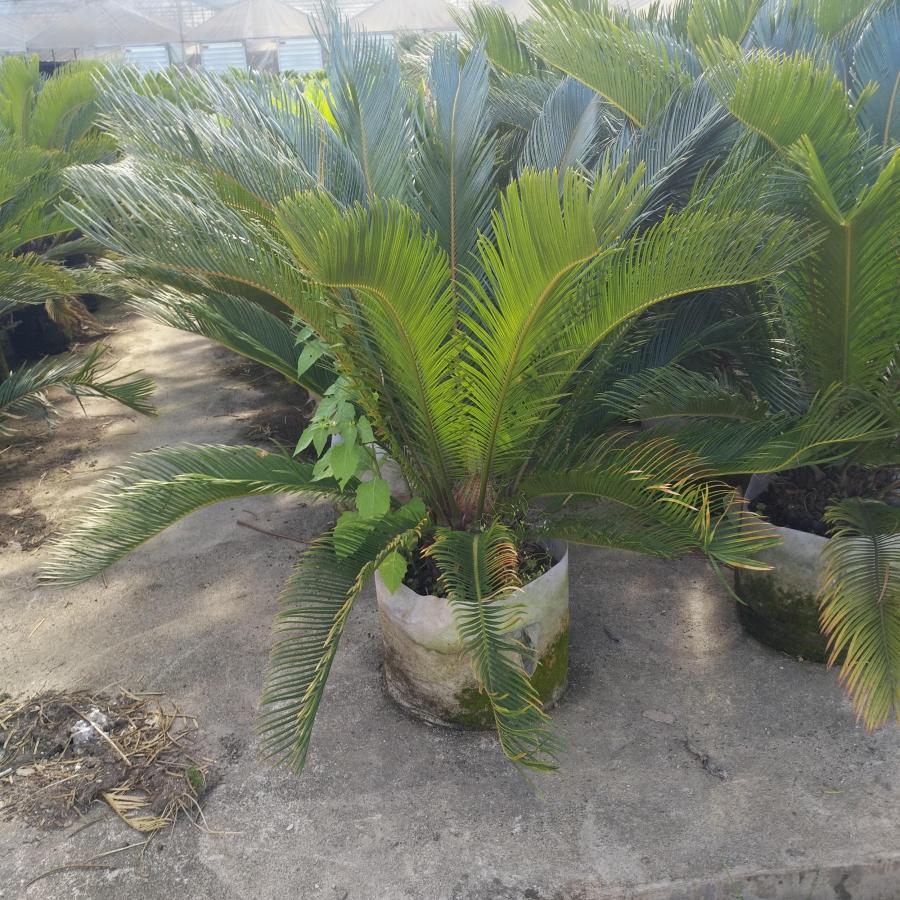 大型盆栽观赏植物苏铁 物美价廉苏铁