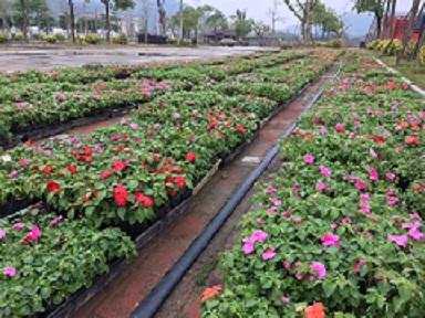 园林普遍绿化造景植物凤仙 物美价廉凤仙