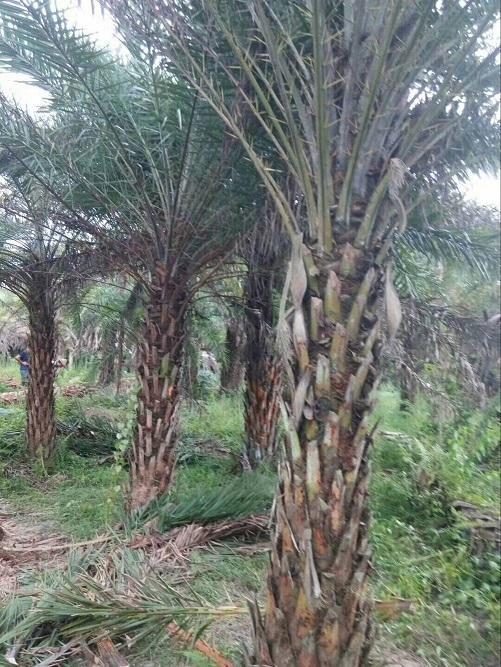 精品景区造景绿化树中东海枣 价格实惠
