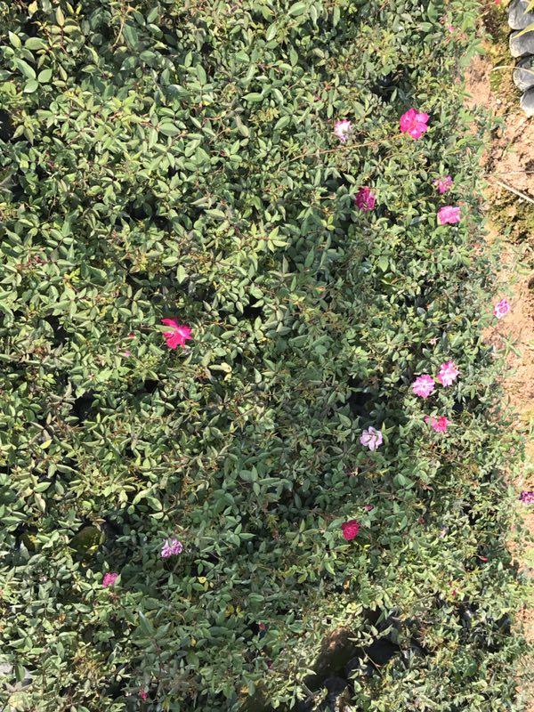 园林常用绿化植物丰花月季 丰花月季价格