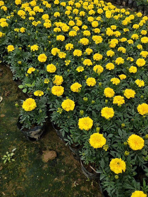 园林常用绿化用盆栽摆放观赏花卉万寿菊
