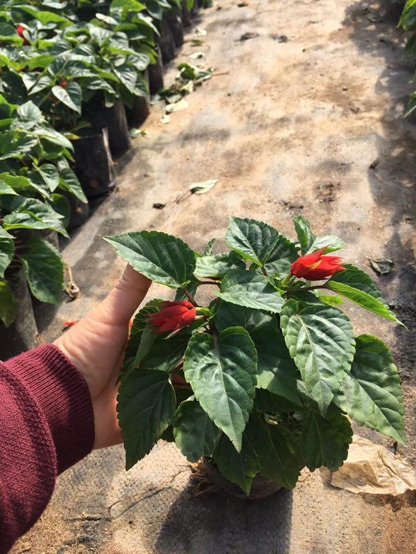 优质盆栽造景花卉一串红 物美价廉一串红