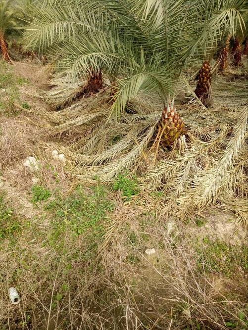 精品热带风景树加拿利海枣多规格供应