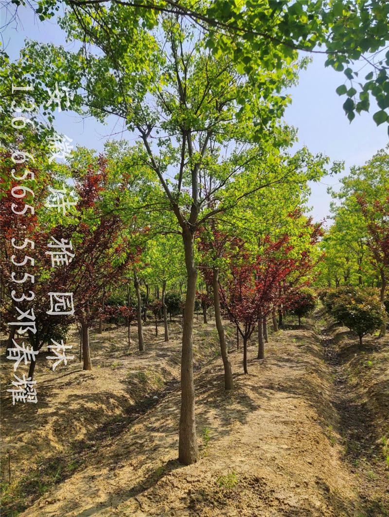 肥西乌桕之乡,2-30公分精品乌桕大量出售