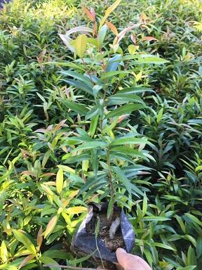 绿化常用造景灌木红车 漳州基地常年有售