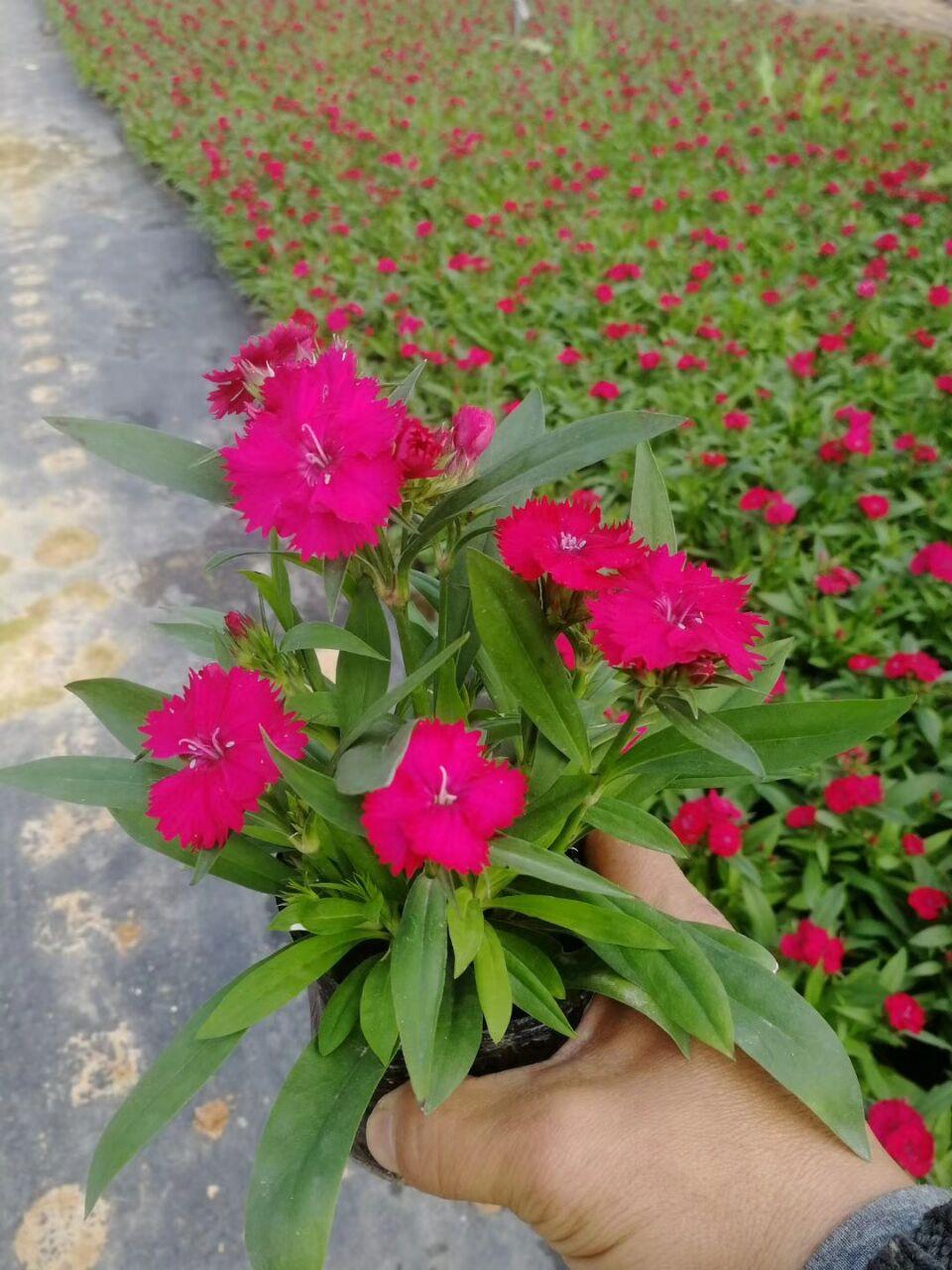 阳台盆栽摆放观赏花卉石竹 石竹价格实惠