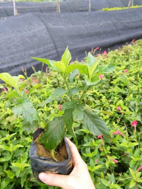会开花绿化地被植物大花芦莉 物美价廉