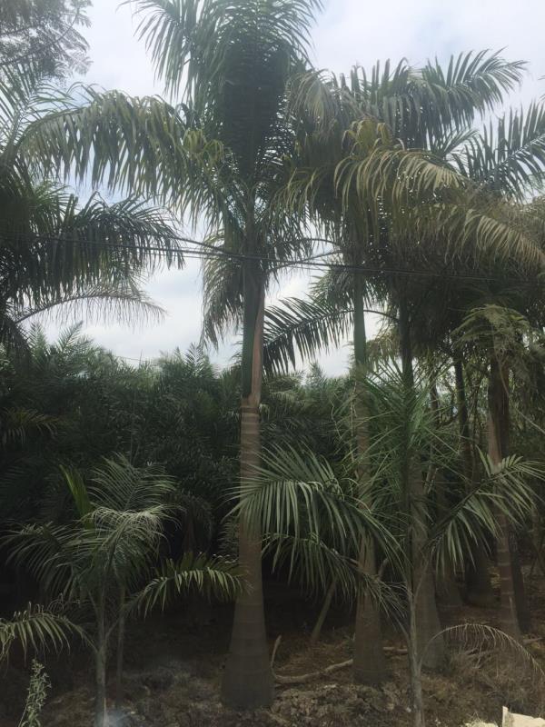 多规格风景树大王椰子 漳州地区特价供应