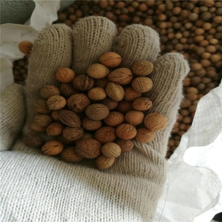 现货供应 榆叶梅种子 厂家直销价格