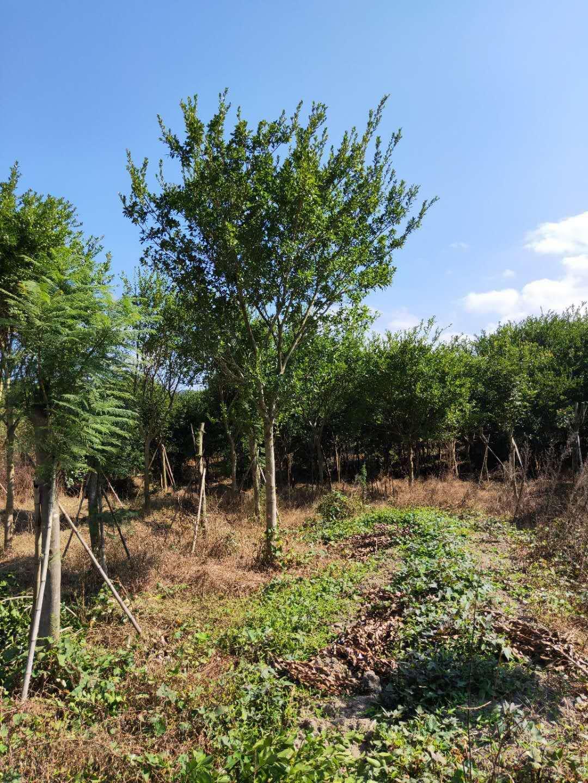 绿化专用基地直供红皮榕哪里价格比较便宜