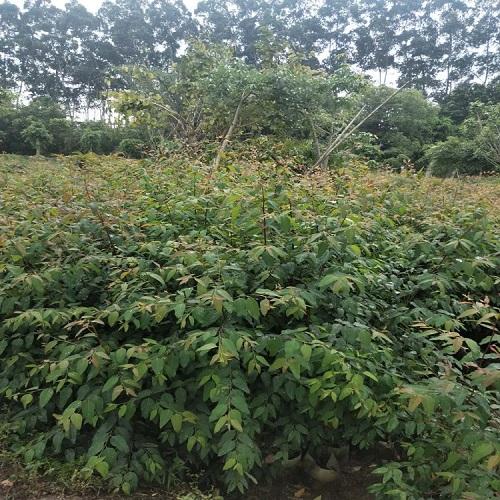 基地直销树姿优美四季常青具有工业价值桉树