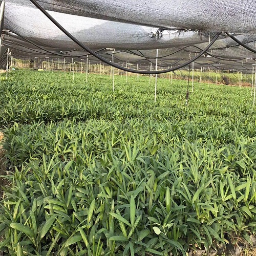 基地直销供应芳香型盆栽造景植物棕竹袋苗