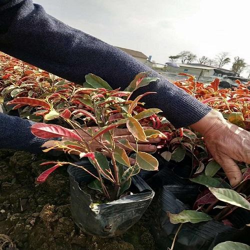 苗木场大量供应实用价值较高植物红背桂