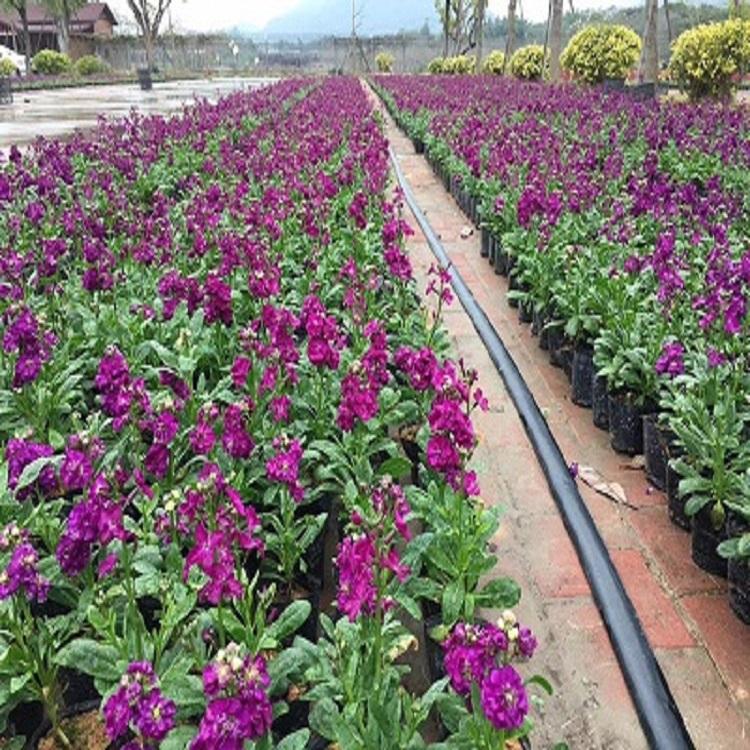 庭院园林景观供应盆栽花卉紫罗兰量大从优