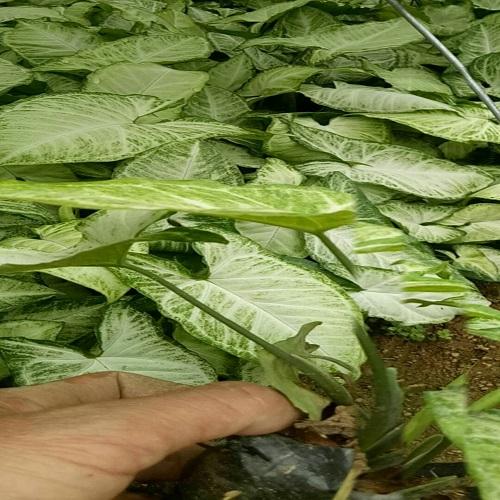 漳州哪里有优质适应性强生长健壮合果芋