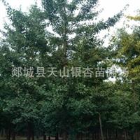 供应银杏树苗 银杏苗木 银杏树 银杏树30公分 银杏树50公分(图)厂