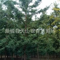 供应银杏树苗 银杏苗木 银杏树 银杏树30公分 银杏树50公分(图)