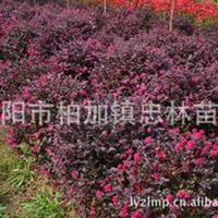 忠林苗圃供应浏阳优质绿化工程苗木红继木——20公分红继木桩