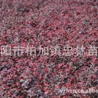 批发供应较便宜的红花继木 红继木 非诚勿扰