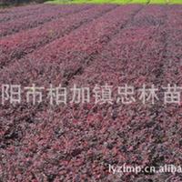 批发供应较便宜的红花继木 红继木 非诚勿扰厂