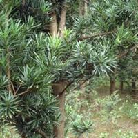 长期供应地径2CM的罗汉松苗木