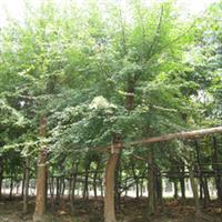 厂家大批量供应精品三角枫树苗树苗  欢迎垂询