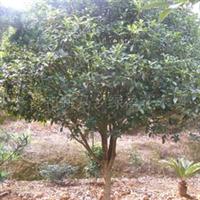 批发供应纯品种丹桂(图)