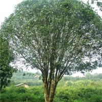 厂家常年出售大小规格优质绿化苗木丹桂