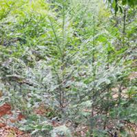 直销优质红豆杉 绿化工程苗木