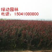 供应密枝红叶李 密枝红叶李工程苗 密枝红叶李 密枝红叶李价格