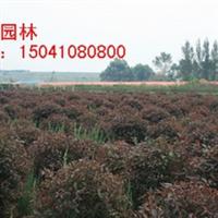 供应密枝红叶李球 密枝红叶李球报价 密枝红叶李落地球价格厂