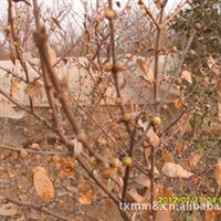 大花!香型l腊梅厂