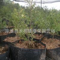 供应10年内较佳时尚--油杉苗(杜松)亦称万年青,及各种绿化苗木