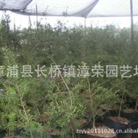 供应10年内较佳时尚珍贵绿化苗木--油杉苗(杜松)亦称万年青!厂