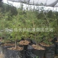 供应10年内较佳时尚珍贵绿化苗木--油杉苗(杜松)亦称万年青!