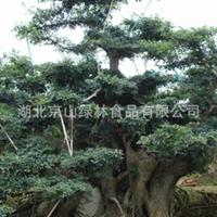 供应对节白蜡盆景 成型盆景 绿化大树 古树古桩 园林绿化