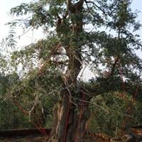 供应对节白蜡盆景、大树、古桩、园林绿化厂