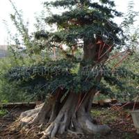 供应对节白蜡盆景、大树、古桩、园林绿化