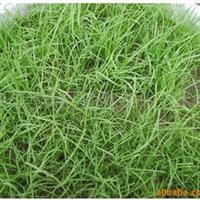 供应实体店铺 剪股颖  匍匐型 细弱型 四季青农作物种子、种苗