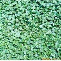 供应草坪草籽 马蹄金 杂三叶 红三叶 白三叶厂