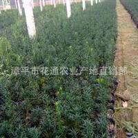 产地直销曼地亚红豆杉苗 批发曼地亚红豆杉盆景