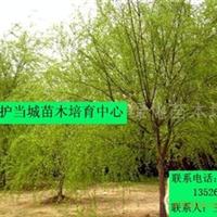低价大量出售各种规格的黄金垂柳