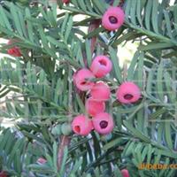培育大龄红豆杉