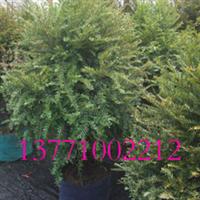 在线批发红豆牌红豆杉绿化苗木,无纺布袋苗,冠幅大、成活率高