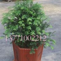 供应红豆牌红豆杉盆景南方红豆杉红豆杉功效量大价优13771002212