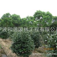 独家供应园林景观绿化苗木/苗圃苗:乌桕厂