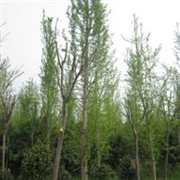 大量供应 银杏,精品乔木,园林景观绿化苗木