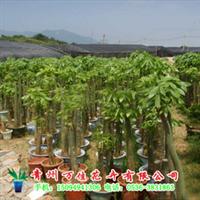 供应室内景观植物发财树、幸福树、老板树、红豆杉厂