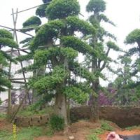 供应绿化苗木 乔木 造型榆树